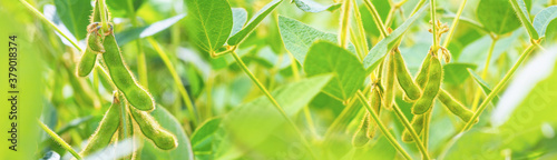 Fotografia, Obraz Young green plants of soybeans with immature pods, close-up, during the period of active growth