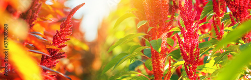 Flowering plants of two different varieties of edible amaranth grow in rows in the field in the rays of the setting sun against the backdrop of a clear sky. Agricultural background, banner.