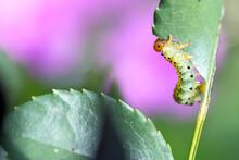 Arge Pagana Eats Rose Leaf- Ag...