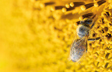 A Honey Bee Collects Nectar On...