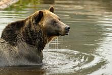 Grizzly Bear (Ursus Arctos Hor...