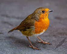 Close-up Of A Robin