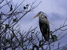 Blue Heron, Florida Everglades