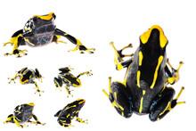 Yellow Dyeing Dart Frog Dendro...