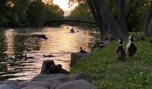 City River Sunset Kayaking Family Of Ducks