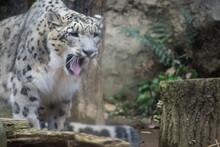 雪豹のあくび