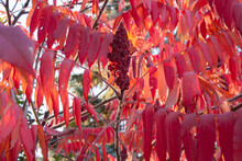 Staghorn Sumac Tree With Red L...