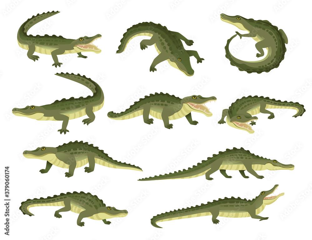 Fototapeta Set of green crocodile character big carnivore reptile cartoon animal design flat vector illustration isolated on white background