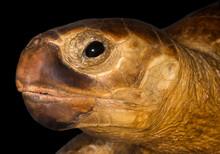 Tartaruga Imbalzamata - Dettaglio