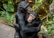 2 Chimpanzee Hugging Each Other