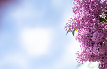 Lilac Flowers On A Empty Blure...