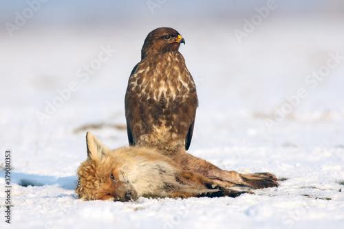 Fotografía The common buzzard (Buteo buteo) sitting on a dead fox