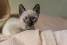 Siamese Kitten Hiding In Soft ...