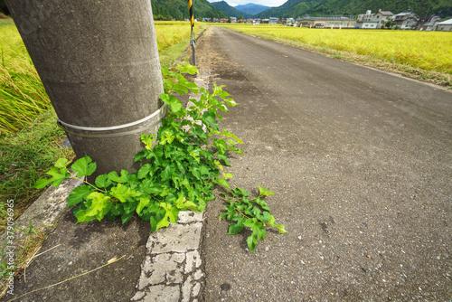 電柱、アスファルトから生えている雑草 Fototapet