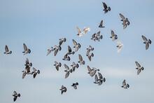 A Flock Of Ferel Pigeons (Rock...