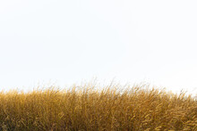 Tall Yellow Wild Grass Against An Isolated White Sky / Background.