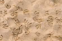 Tracks Of Seagulls On The Beac...