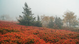 Nordic Nature in Autumn. Red Bilberry Bushes in Early Mosty Morning with Fog