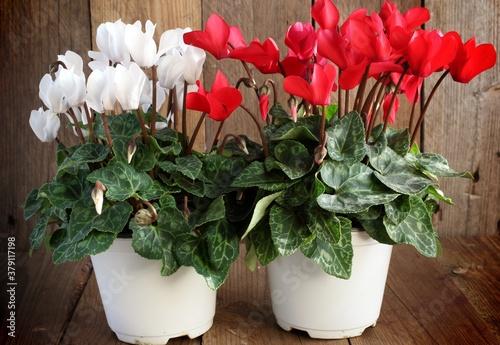 Photo Ciclamini fioriti in vaso