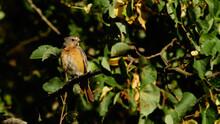 Wildlife Photo Of A European Robin - Erithacus Rubecula