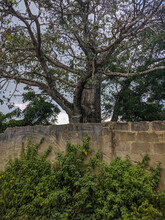 Zanzibar, Tanzania - December 4, 2019: The Branches Of A Large Baobab Tree Are Spread Out On The Territory Of A Local Hotel Behind A Concrete Fence. Vertical