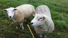 Zwei Neugierige Schafe
