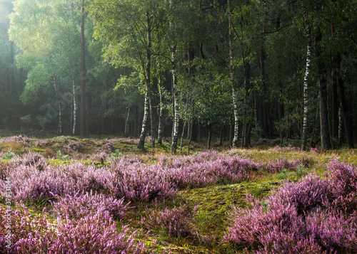 Flowering heather at the edge of a birch wood
