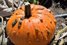 Autumn Produce: Closeup Of A W...