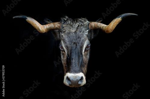 portrait of a tudanca cow