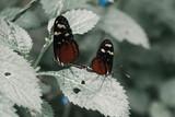 butterlfy pair