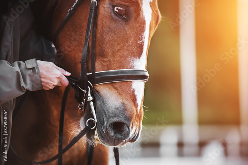 Fototapeta A man in a gray jacket adjusts the reins on a bridle worn on the muzzle of a bay horse with a white stripe on the forehead, which is illuminated by sunlight. Equestrian sport. obraz