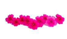 Pink Verbena Isolated