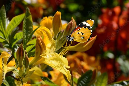 Fototapeta Schmetterling 713 obraz