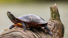 Painted Turtle On A River Log