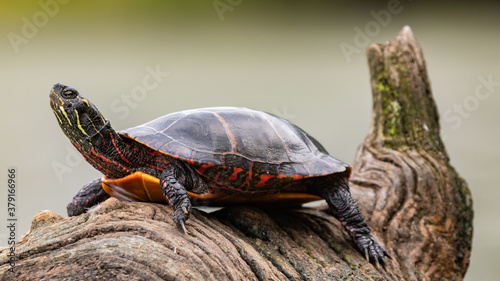 Painted turtle on a river log Canvas Print