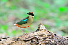 Fairy Pitta Standing On The Rock  With Lear Background