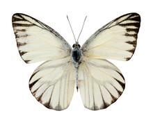Striped Albatross Butterfly (a...