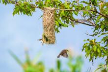 Baya Weaver Bird Nesting