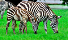 Zebra And Its Pony With Black And White Stripe Camouflage Eating Grass In The Green Field