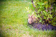 Cute Grey Rabbit Hiding Under The Green Bushes In The Park Near The Grass Field Under The Sun