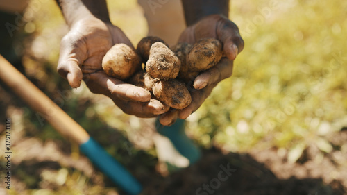 Fototapeta Hands of african man removing fresh potatoes from the soil. High quality photo obraz