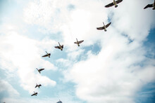 Geese Migrating South For The ...