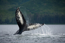 Tail Slapping Humpback Whale, ...
