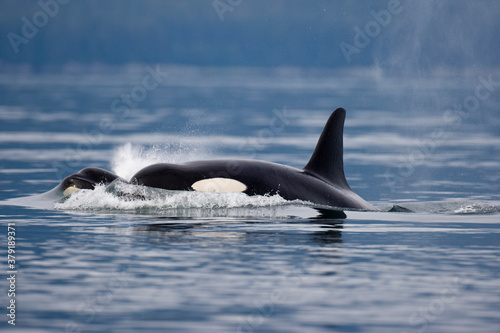 Photo Orca Whales in Stephens Passage, Alaska