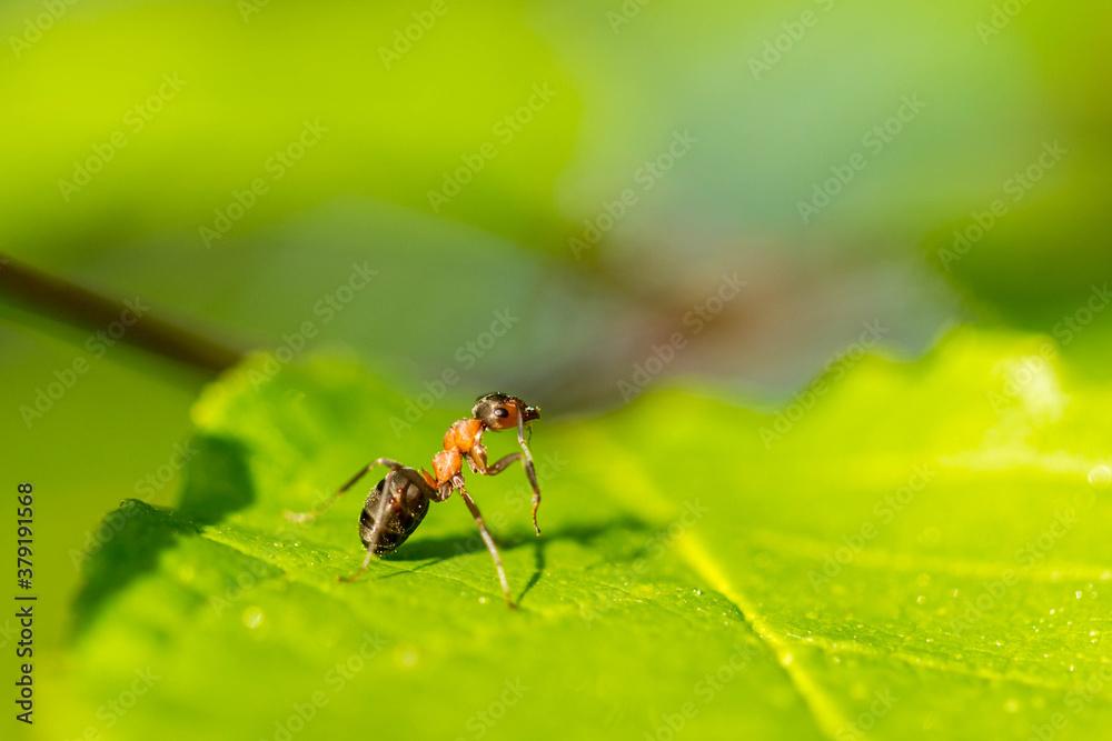 Fototapeta ruda mrówka na zielonym liściu