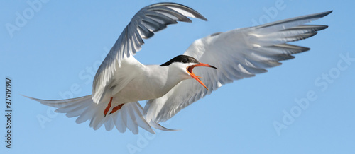 Papel de parede Adult common tern with open beak  in flight on the blue sky background
