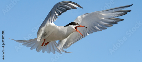 Tela Adult common tern with open beak  in flight on the blue sky background