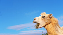 Camel Chews Hay, Dried Grass O...