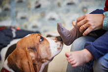 A Devoted Dog Sniffs The Child...