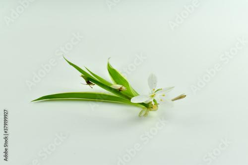 Obraz Mały, biały kwiat z łodygą na jasnym tle. - fototapety do salonu